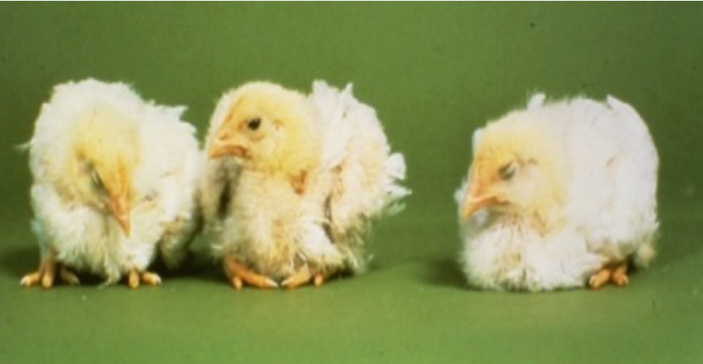 Signs and symptoms of Coccidiosis in Chickens and Poultry   Zamira Australia