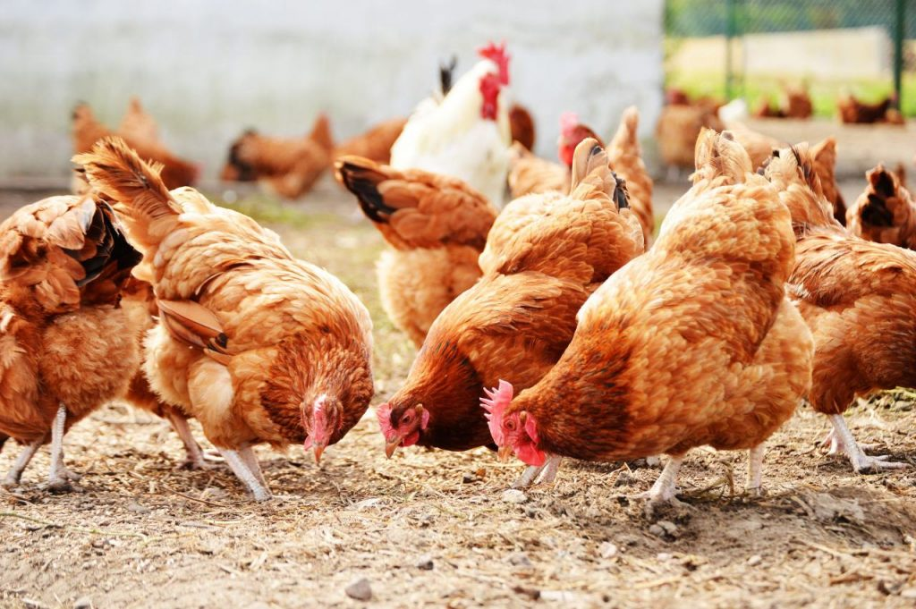 Brown Layer hens on poultry farm - preventing Mycoplasmosis with Zamityl Soluble | Zamira Australia